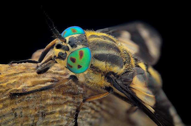 Chrysops relictus female