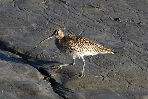 2014_12_24 TIM - Eurasian Curlew (Numenius arquata) 01 | by Oretani Wildlife (Mike Grimes)