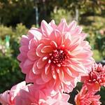 おはようございます! +794  「 #ダリア」#Dahlia(Royal Wedding)  品種:  #ロイヤルウェディング  大きさ: 大輪  花色: サーモンピンク  優しいピンクですね! #日野ダリア園 にて  岐阜は雨 最高気温20℃  今は雨上がってますが 1日雨の予報ですね!  生憎のお天気ですが 素敵な1日をお過ごし下さい♪  今日も宜しくお願いします! 笑顔と感謝忘れずに(^-^)  私はお仕事行ってきま~す!  Good morning my friends! Have a nic