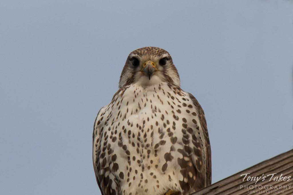 Prairie Falcon gets serious