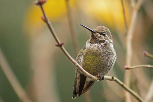 bird nature annashummingbird calypteanna rainieroregon