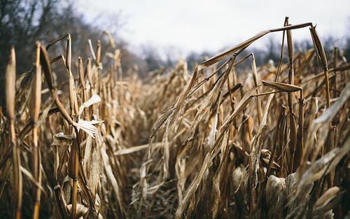 dualiso cornfield nature depthoffield dof wisconsin farm midwest canoneos5dmarkiii sigma35mmf14dghsmart