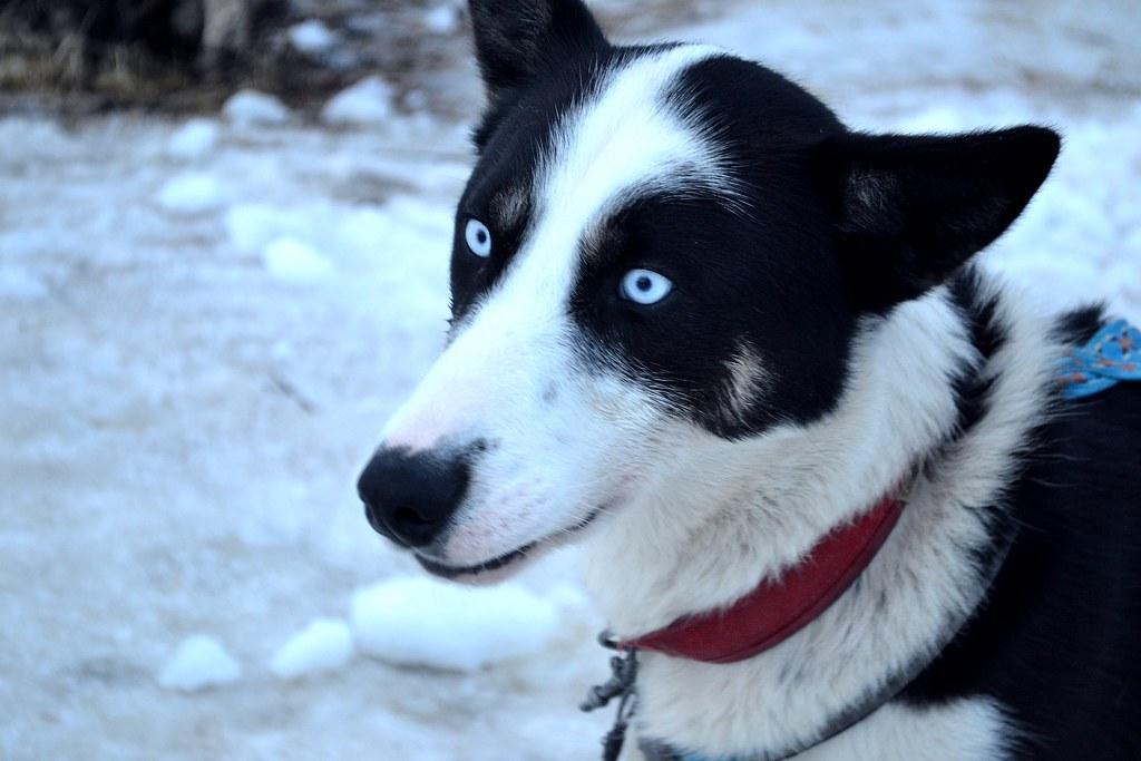 Icy Blue Eyes | Beautiful Norwegian Sled Dog | Hannah | Flickr