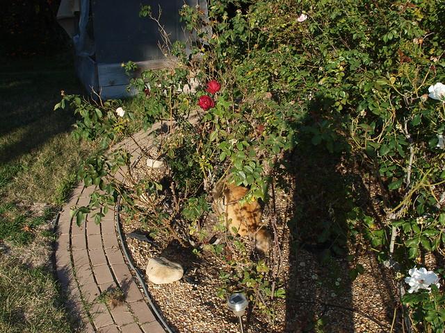 N1039688 TT shadow on roses