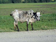 Tue, 01/20/2015 - 04:17 - Species name: Cattle (photo credit: ILRI).