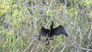 Everglades NP (Florida) - Anhinga