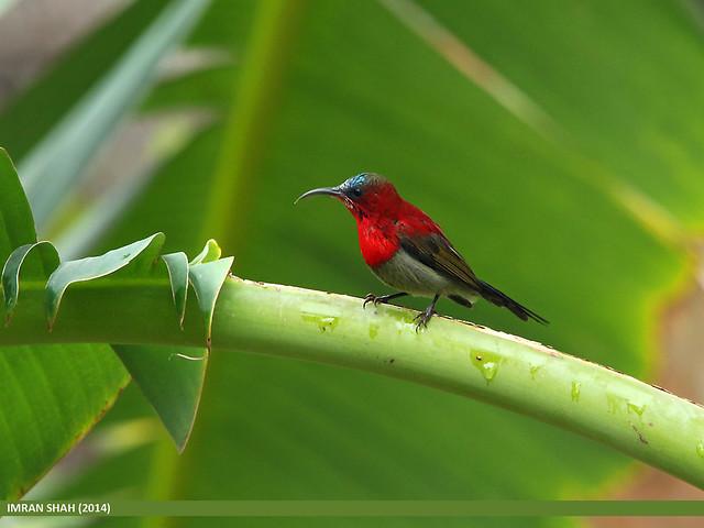 Crimson Sunbird (Aethopyga siparaja)