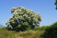 Cordia eleagnoides