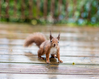 Slightly Damp Red Squirrel  - IMG_2476 | by s0ulsurfing
