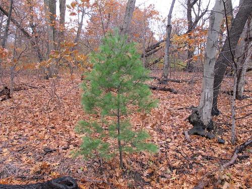 Pinus strobus (white pine), Inwood Hill Park, New York, NY | by Kristine Paulus