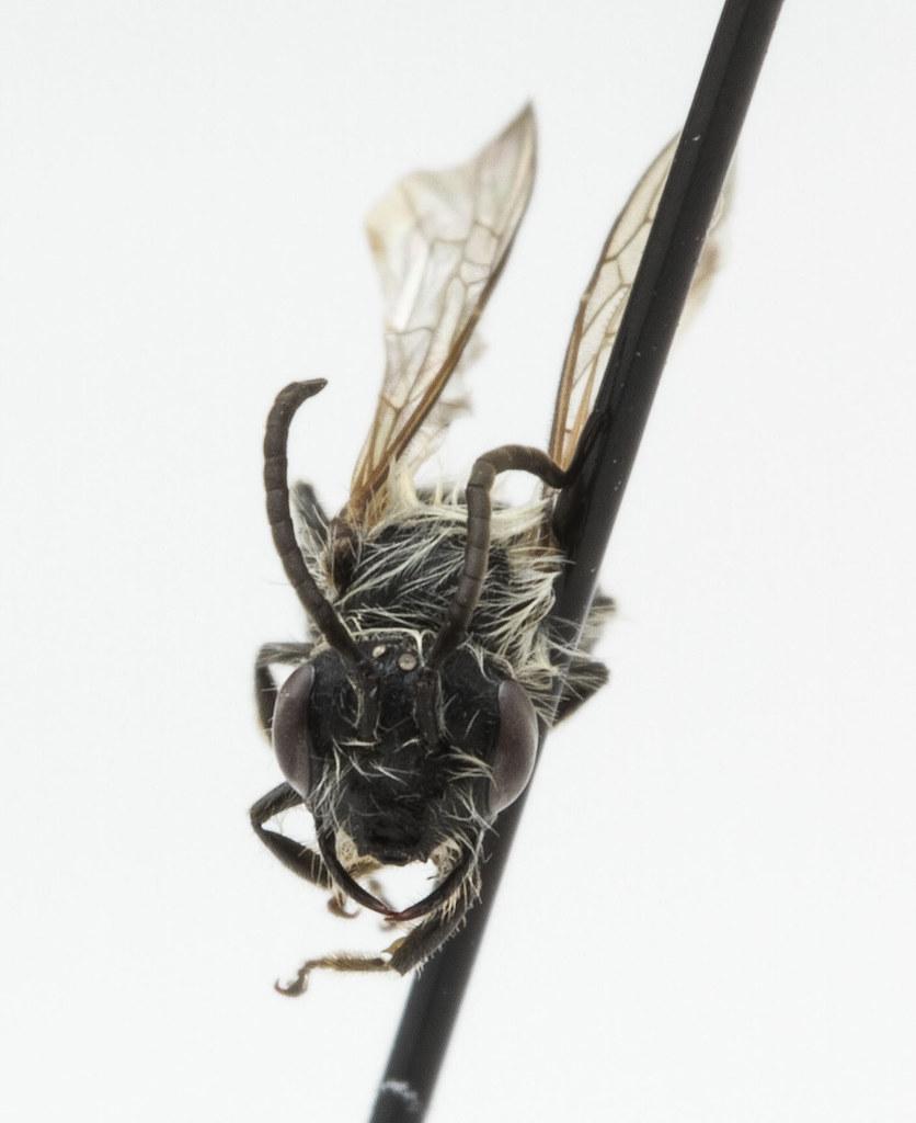 Andrena sp 2 M   Specimen ID: 0035 Sex: Male Size: 7 mm ...