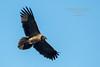 Gypaète barbu - Gypaetus barbatus (Sierra de Marcuello, Espagne) 30 Dec 2014 #1 by ÇhяḯṧtÖρнε