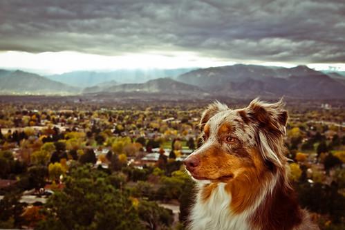 dog view jett aussie australianshepherd overlook redmerle 52weeksfordogs