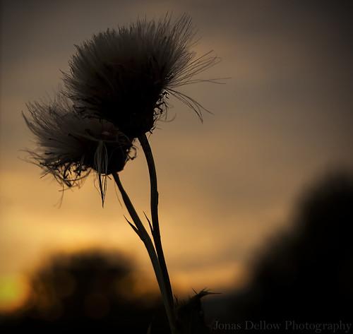 ireland sunset sky macro beautiful silhouette nikond50 magical dandelions jonasdellowphotography