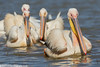 GREAT WHITE PELICANS Pelecanus onocrotalus by Rich Andrews