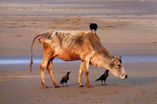 Cow and Crows - Digha, West Bengal, India (15.03.2014)