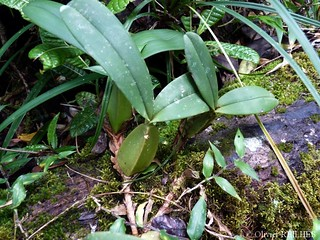 Bulbophyllum sp. | by olivier.reilhes