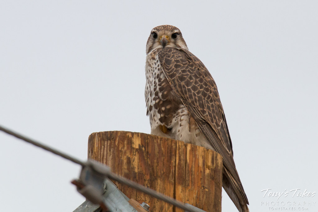 Perched Prairie Falcon on the Plains