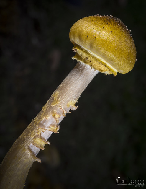 Armillaria mellea - Armillaire couleur de miel