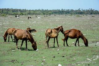 Neduntivu. Caballos silvestres. Wild horses.