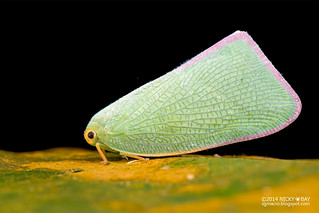 Flatid planthopper (Flatidae) - DSC_3044