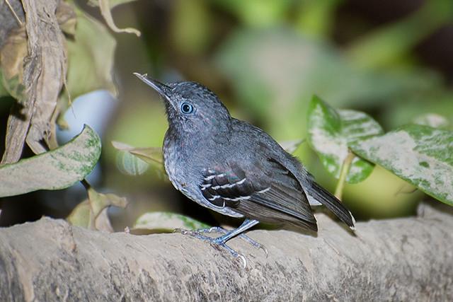Solta-asa (Hypocnemoides maculicauda) - Macho