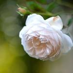 Rose 'Rose-Marie'