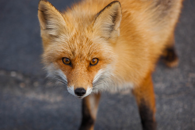 Foxes of Island Beach State Park New Jersey