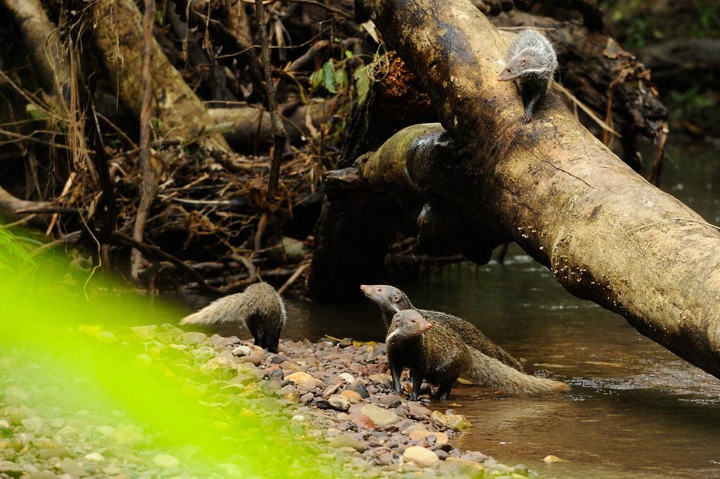 Crab-eating Mongoose, Herpestes urva in Khao Yai National … | Flickr