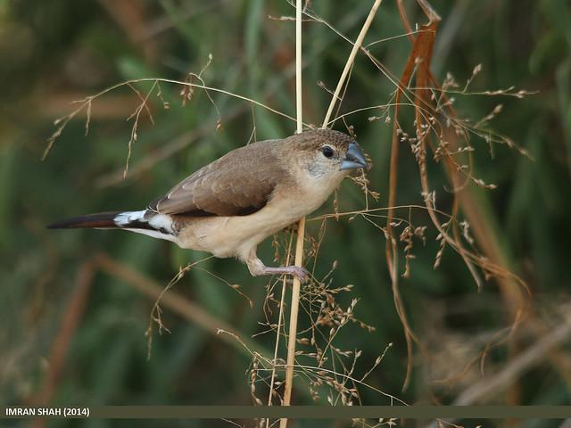 Indian Silverbill Munia (Lonchura malabarica)