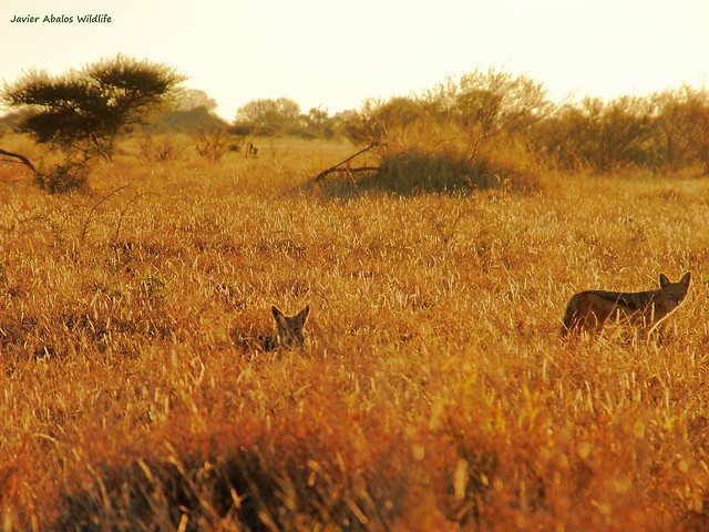 Black backed jackals at dawn in Kruger National Park; South Africa