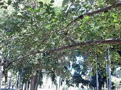 Ficus drupacea var. pubescens