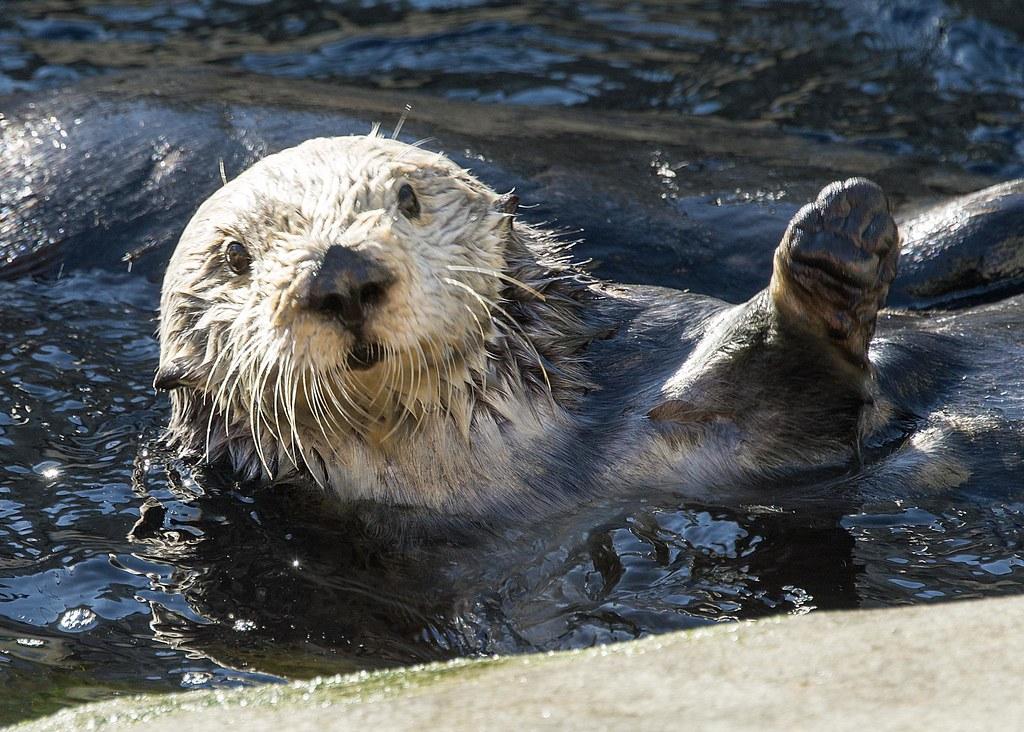 Monterey bay aquarium otter