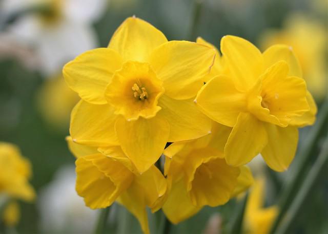 Daffodils in a Bunch