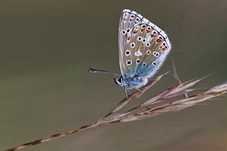 Polyommatus bellargus - Argus bleu céleste ♂