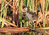 Juvenile Common Gallinule by Bill McBride Photography