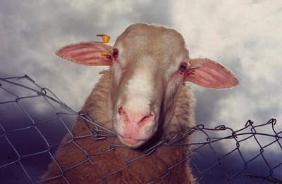George the Ram