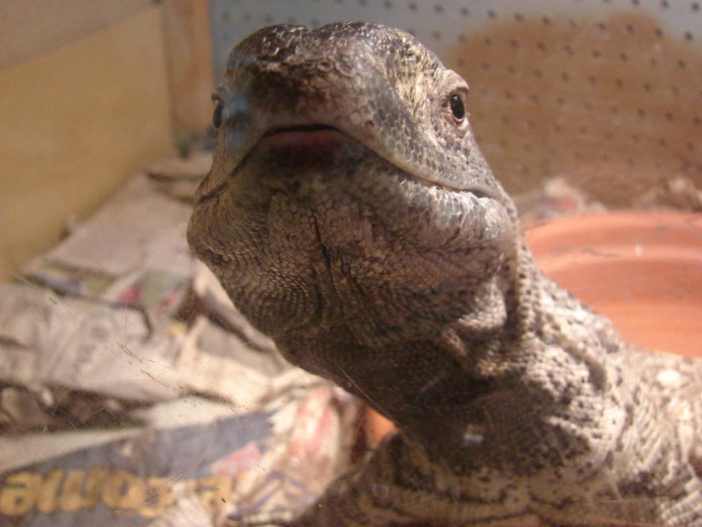 Dozer - Black throat monitor | Black throat monitor lizard (… | Flickr
