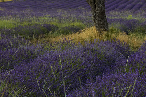 Lavender field near Aurel | by Siddhi