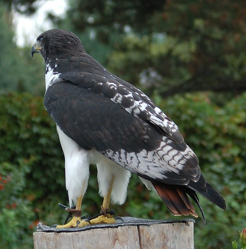 beautiful African? hawk | by denovich