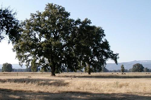 Round Valley oaks