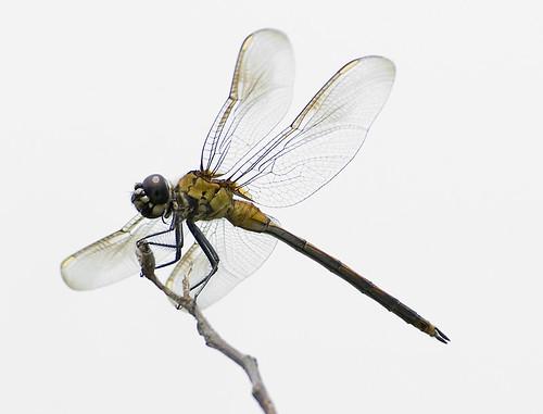 nc dragonfly insects august immature juvenile odonata libellulidae pennants anisoptera ntopsailisland commonskimmers tramea fourspottedpennant horizontalperch brachymesia brachymesiagravida