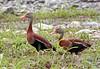 Silbón de Pico Rojo/ Black-bellied Whistling Duck / Dendrocygna autumnalis by vic_206