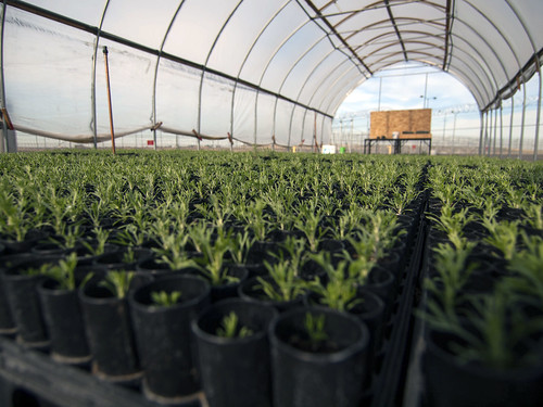 Prisoners Growing Sagebrush | by BLMOregon