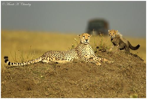 sunset kenya ngc npc cheetah cheetahcubs goldenlight wildafrica femalecheetah maasaimaragamereserve macswildpixels