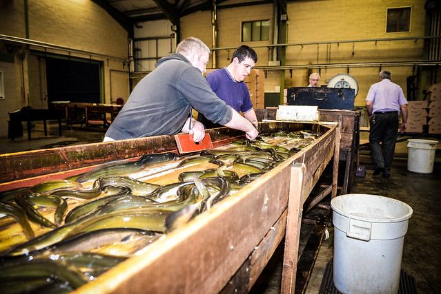 Lough Neagh Eel Packing-21