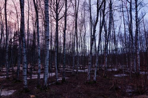 outdoor koivu luonto hdr landscape puu auringonlasku metsä aurinko forest nature sun sundown sunset tree espoo uusimaa finland fi