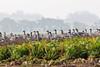 Feeding geese by Jim C Walker