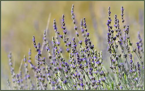 Winter Purple Factor | by tdlucas5000