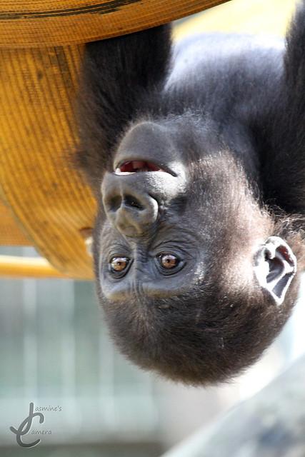 Chessington Zoo: Western Lowland Gorilla